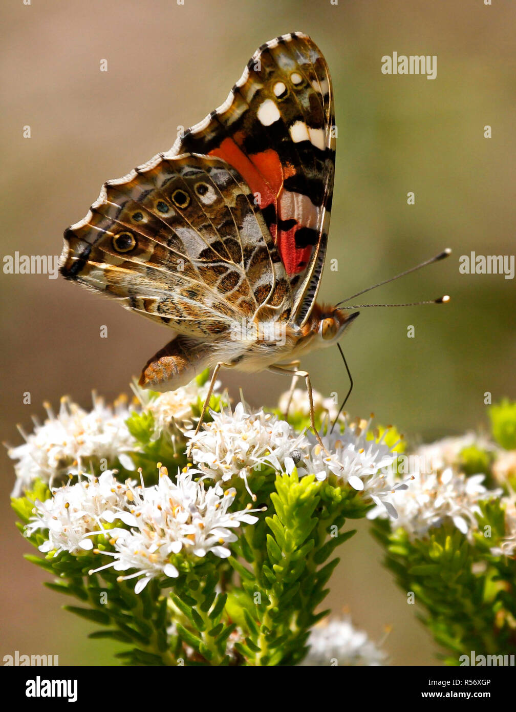A painted lady butterfly feeding on flowers in Kirstenbosch National Botanical Garden in Cape Town. - Stock Image