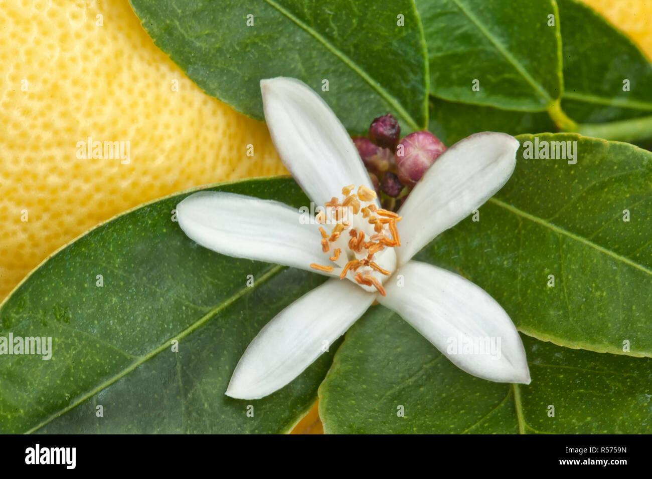 Lemon Blossom, flower buds, green foliage on branch 'Citrus limon',  lemon in background. - Stock Image