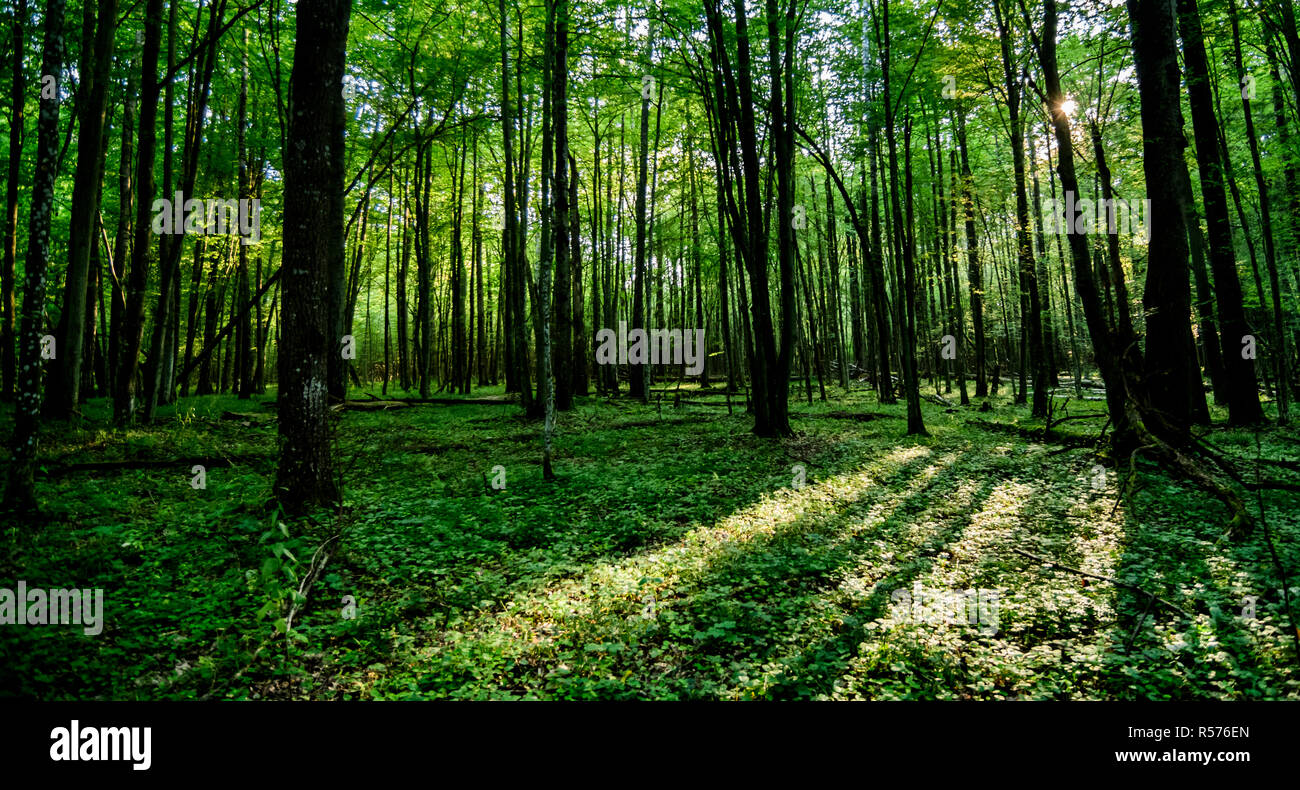 Sunlight shining throught the trees in a forest of Bialowieza National Park, Poland. July, 2017. Stock Photo
