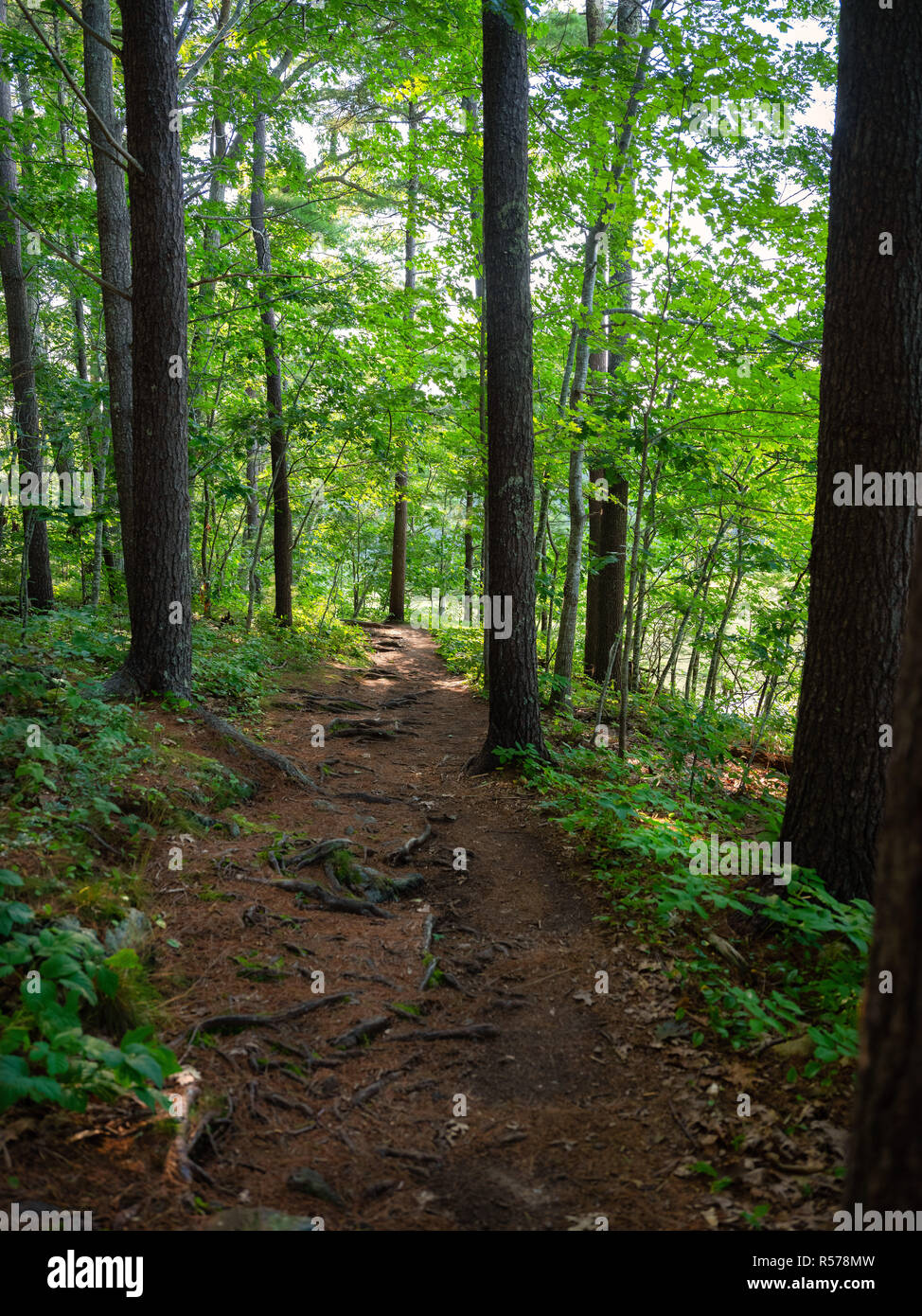 Forest path in summer or spring, with tall trees and underbrush - Stock Image