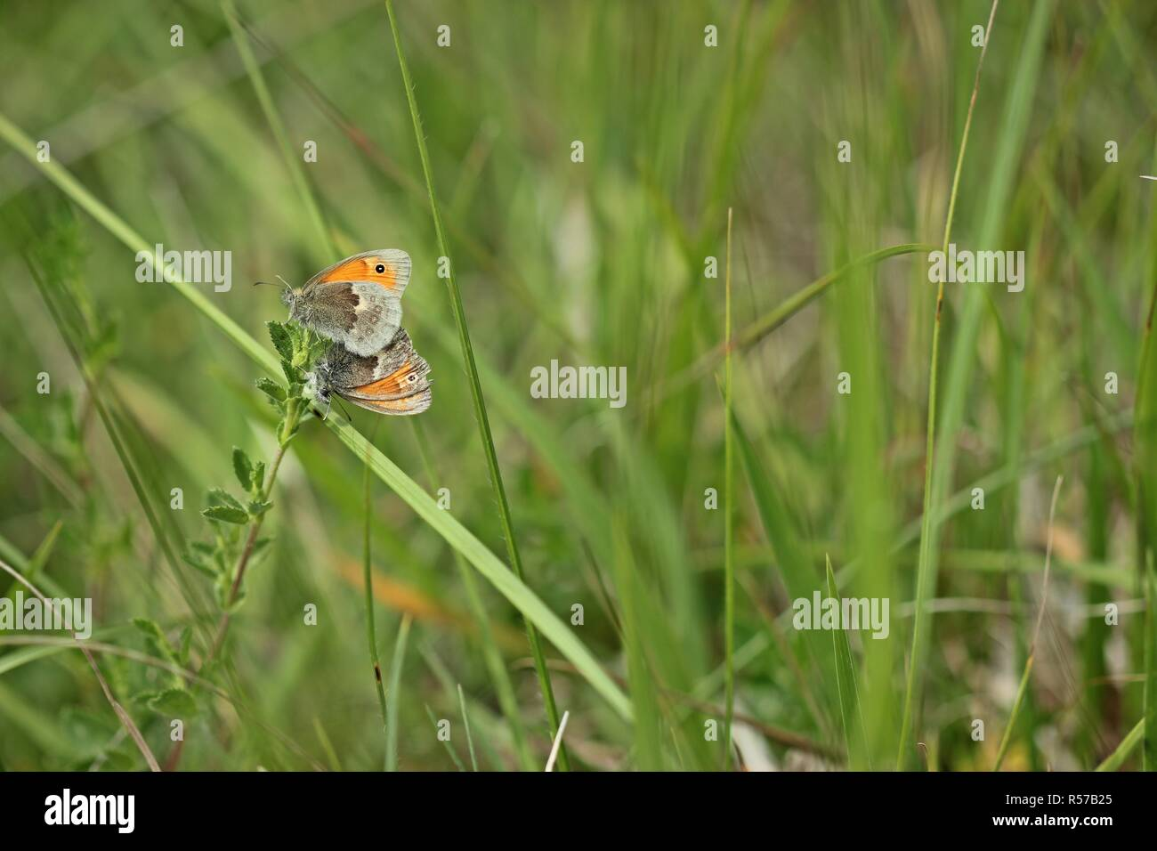 mating the little meadow bird (coenonympha pamphilus) - Stock Image