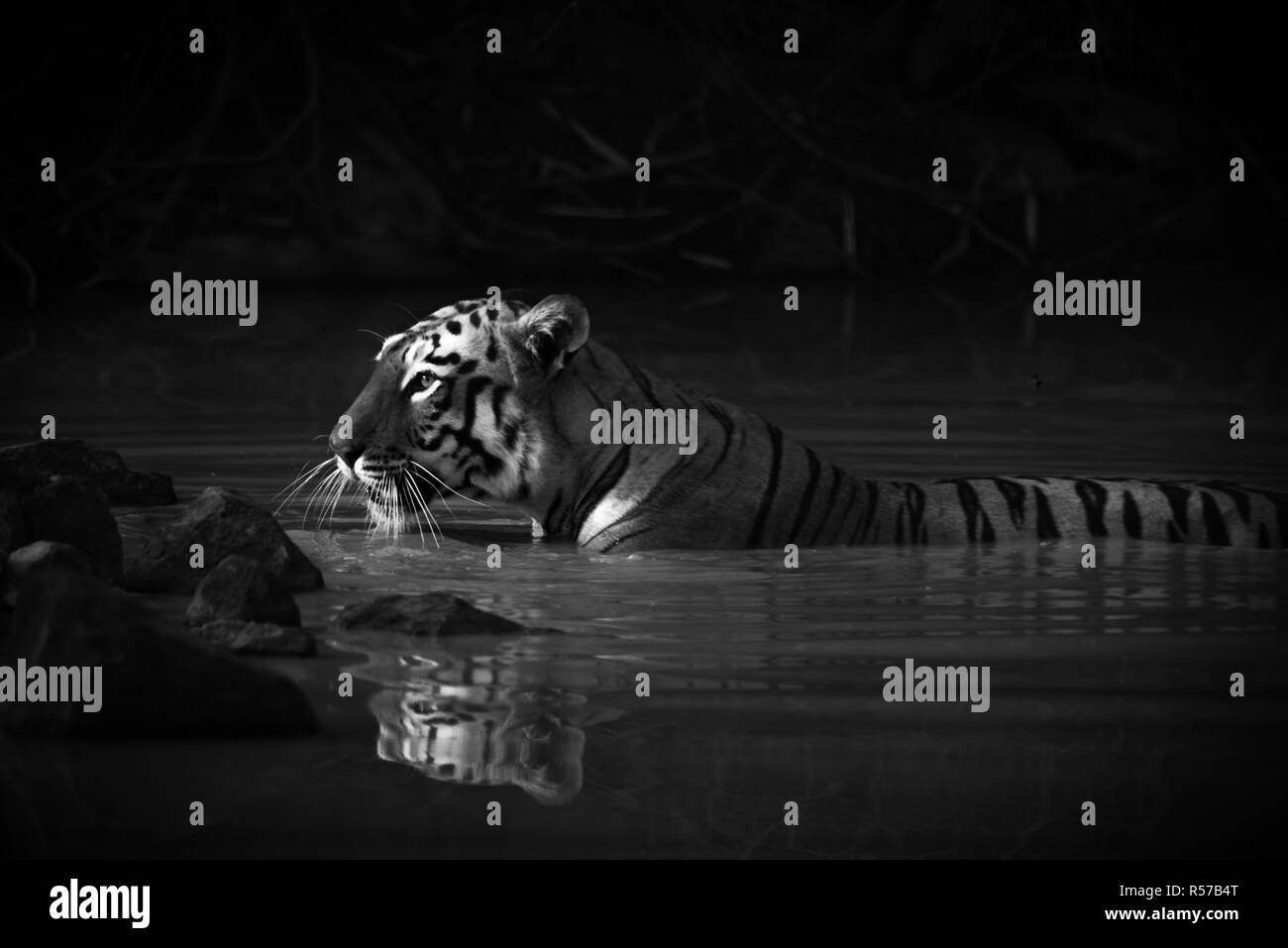 Bengal tiger with catchlight in water mono - Stock Image