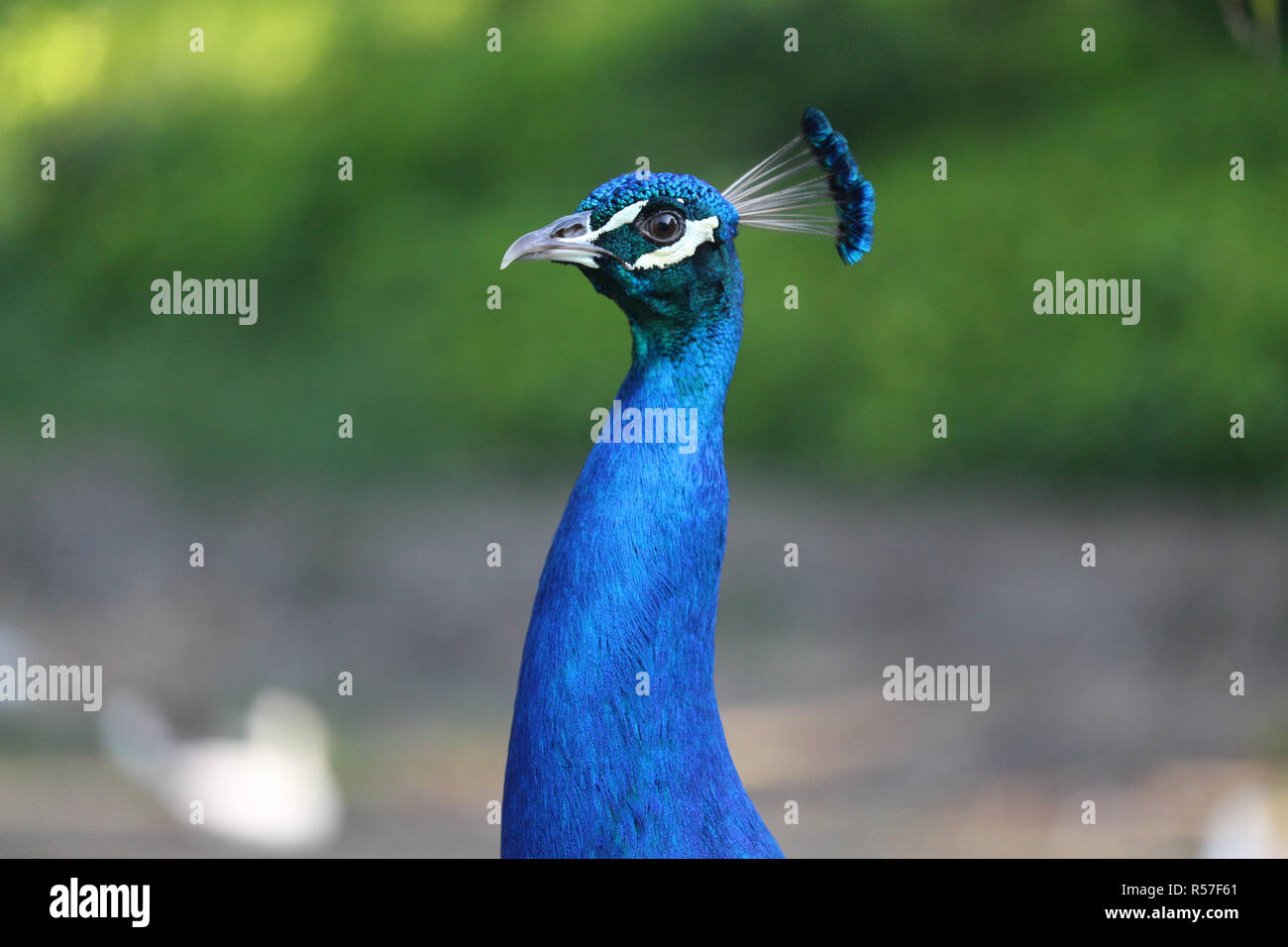 Blue peacock, bird of the Phasianidae family. Their long multicolored feathers are very beautiful, being an exotic bird very used for the removal of f - Stock Image
