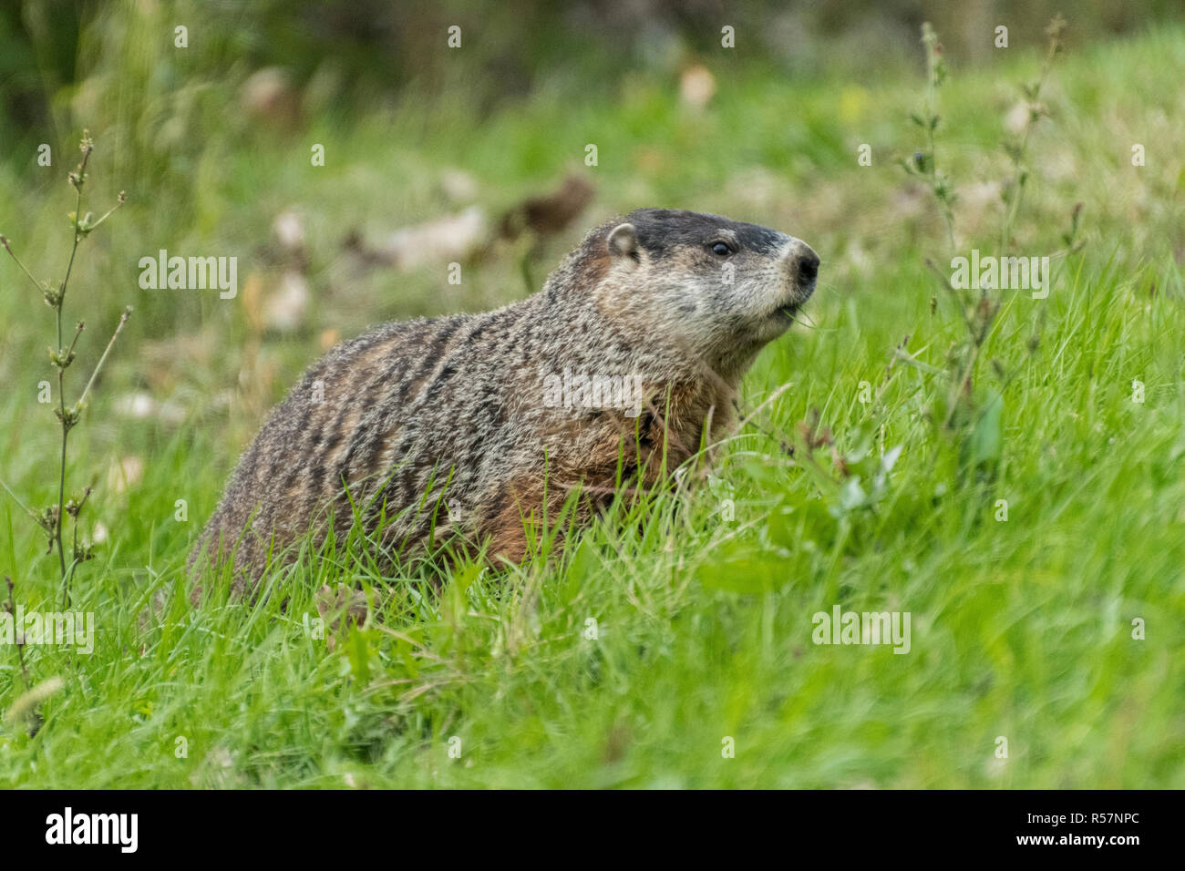 Woodchuck foraging in grassy field. - Stock Image