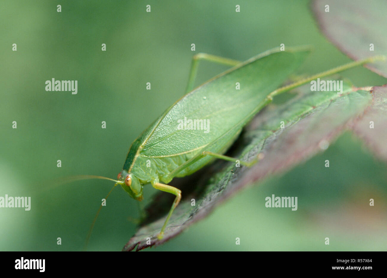 Insects in the family Tettigoniidae are commonly called katydids, bush crickets or long-horned grasshoppers. New South Wales, Australia - Stock Image