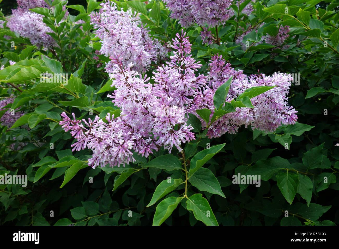 blooming komarows lilac - Stock Image
