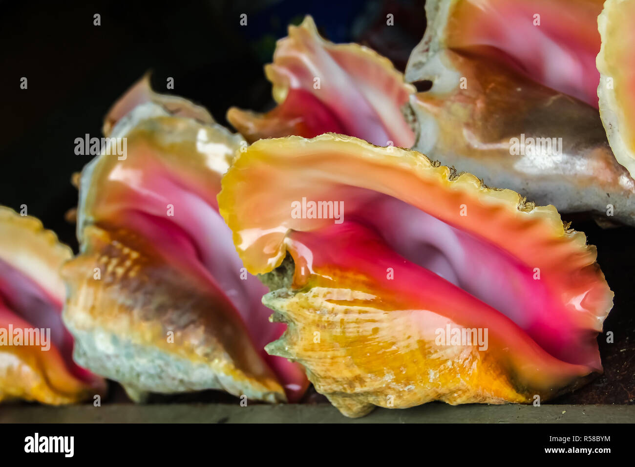 60169e968108 Conch sea shell with pearly pink inside lined up for sale at a souvenir shop  in Freeport
