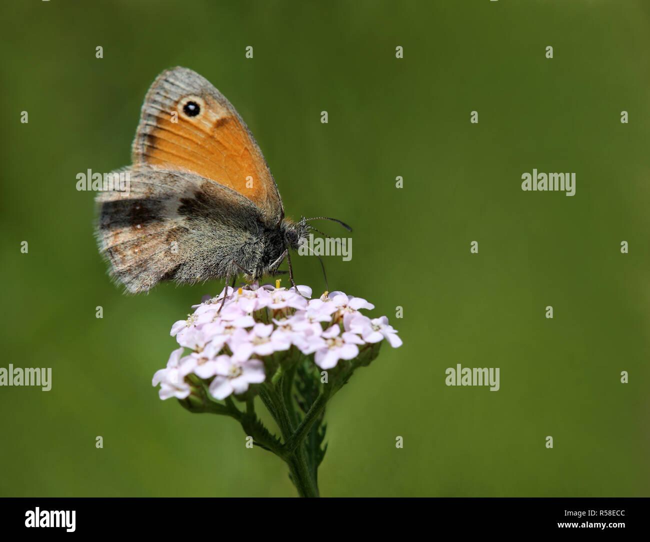 macro small meadow bird coenonympha pamphilus - Stock Image