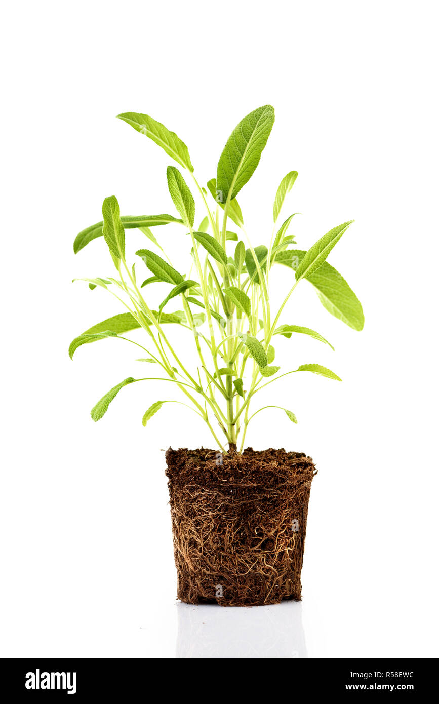 Fresh green plant with roots visible in soil isolated over