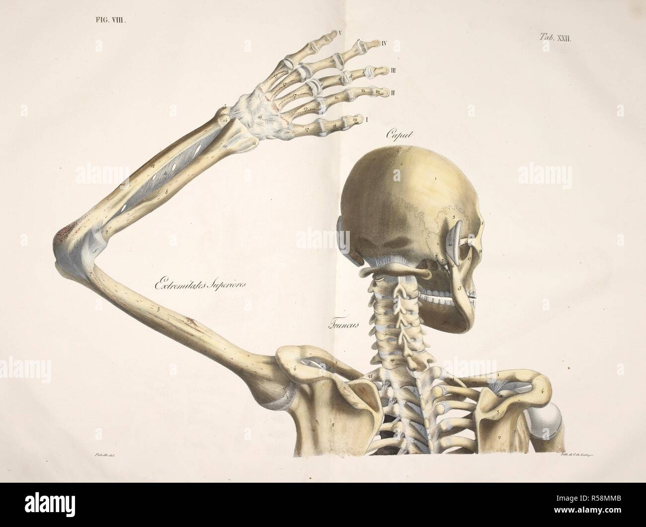 Anatomical Drawing Skeleton Bones Skull Neck Spine Shoulder Blade Arm Humerous Elbow Radius Wrist Hand And Head (caput humeri) is a large, rounded, prominence that extends medially from the bone's proximal end. https www alamy com anatomical drawing skeleton bones skull neck spine shoulder blade arm humerous elbow radius wrist hand and fingers planches anatomiques du corps humain executees dapres les dimensions naturelles paris france 1826 anatomical print of the human body with natural dimensions skeleton bones skull neck spine shoulder blade arm humerous elbow radius wrist hand and fingers antommarchi c francesco planches anatomiques du corps humain executees dapres les dimensions naturelles accompagnees dun texte explicatif publiees par le cte de lasteyrie image226999931 html