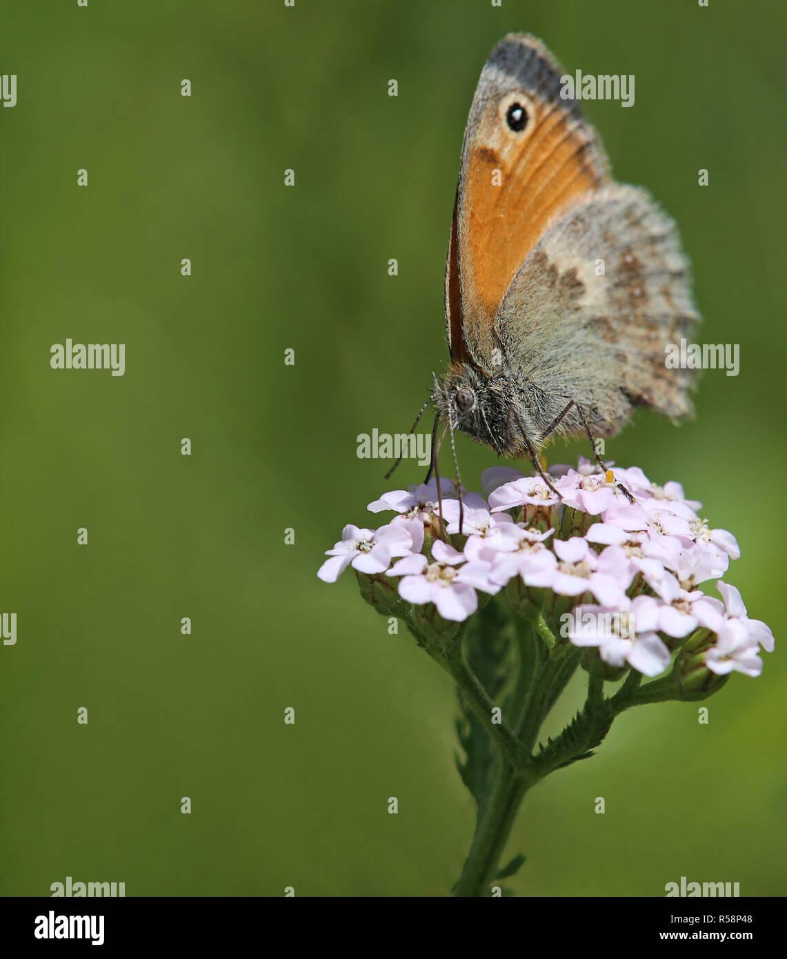 macro shot little meadow bird coenonympha pamphilus - Stock Image