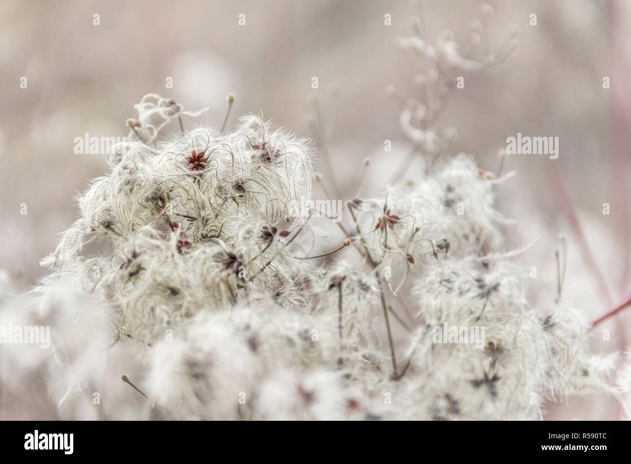 fluffy seed closeup - Stock Image