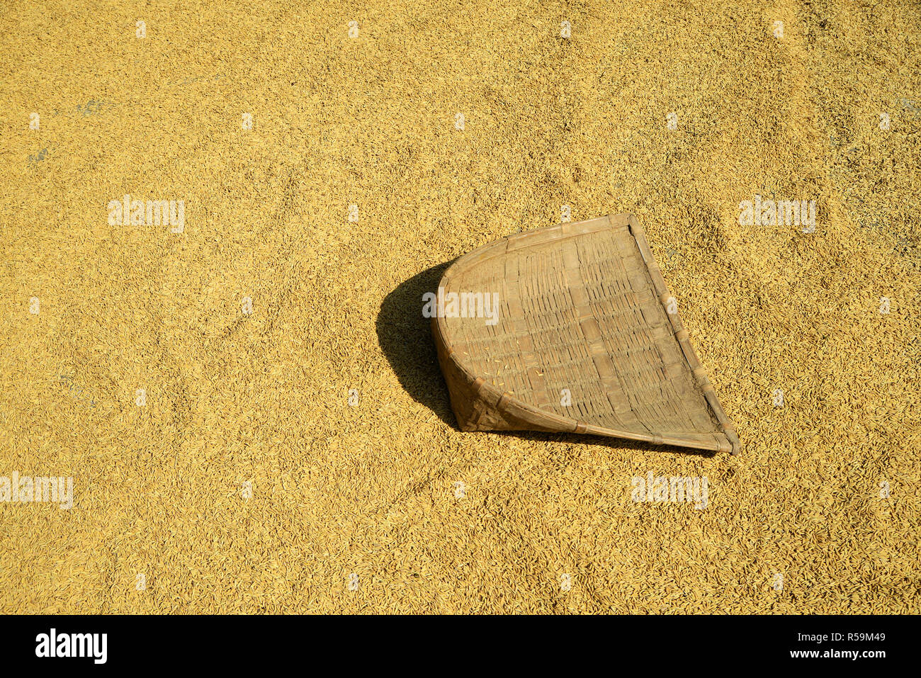 Paddy rice seed - Stock Image
