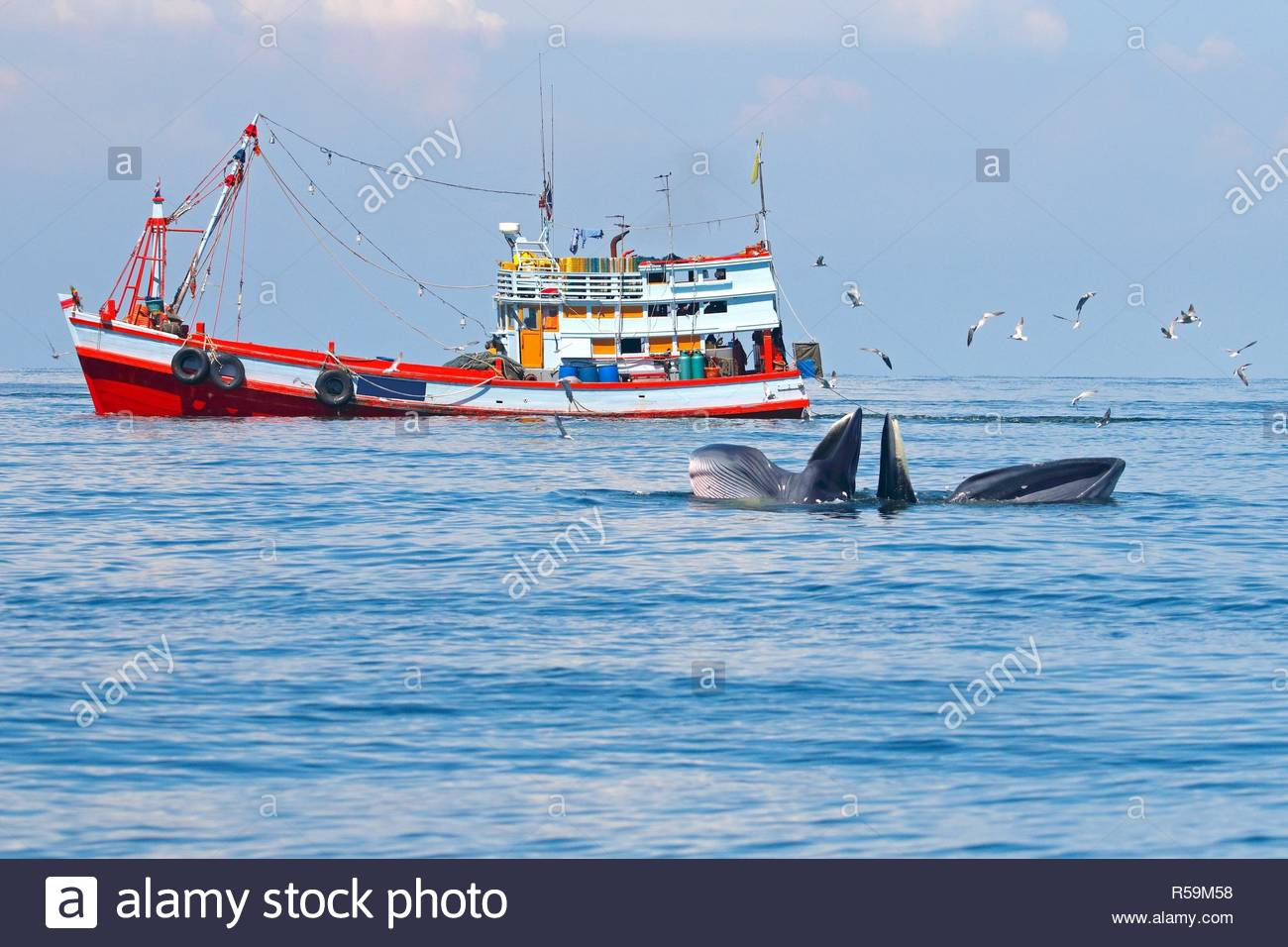 Bryde's Whale Balaenoptera edeni and fishing boat in the sea - Stock Image