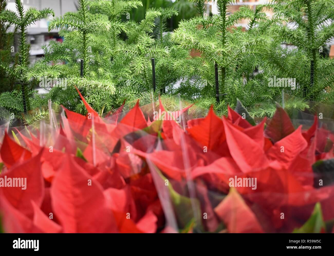 Poinsettia Red Flowers Euphorbia Pulcherrima And Christmas Trees