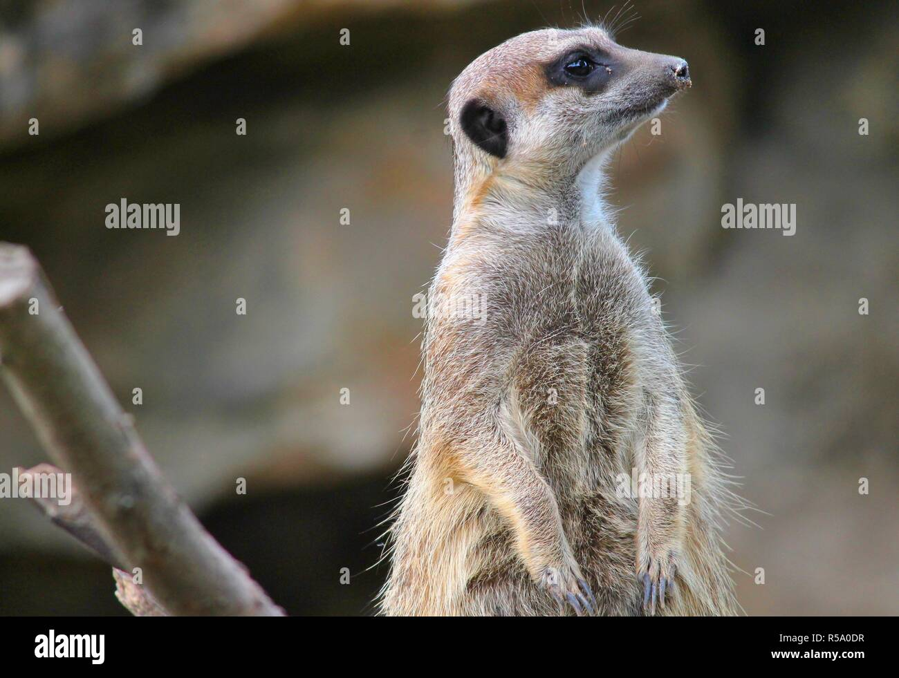 Meerkats Guard His Territory Stock Photo 227027971 Alamy