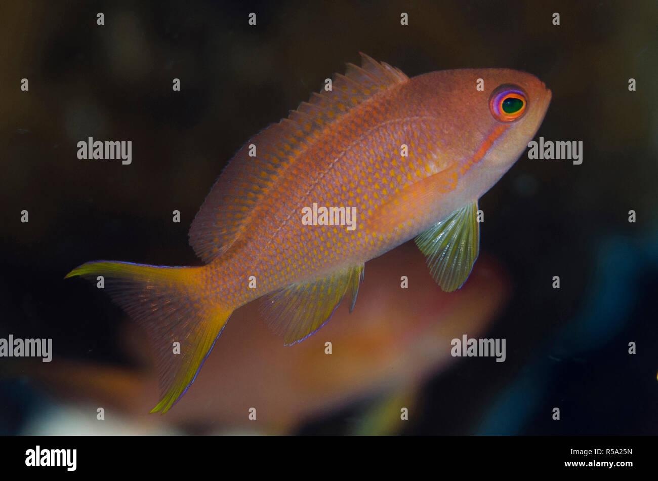 Female Scalefin Anthias, Pseudanthias squamipinnis, with fin extended, Reta Wall dive site, off Reta Island, near Alor, Indonesia, Indian Ocean - Stock Image