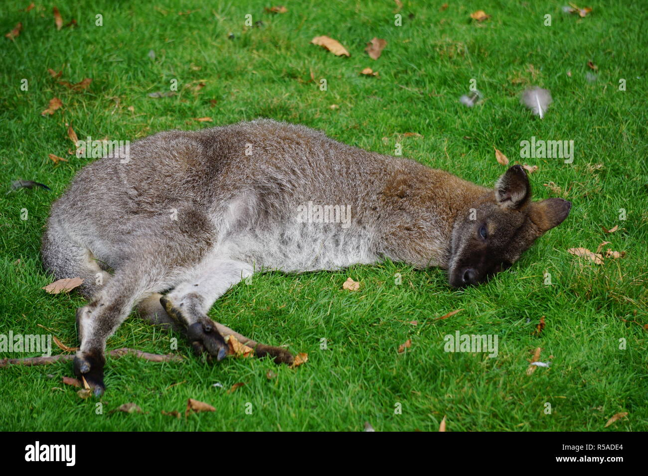 Close up of a snoozing wallaby in the grass in the park - Stock Image