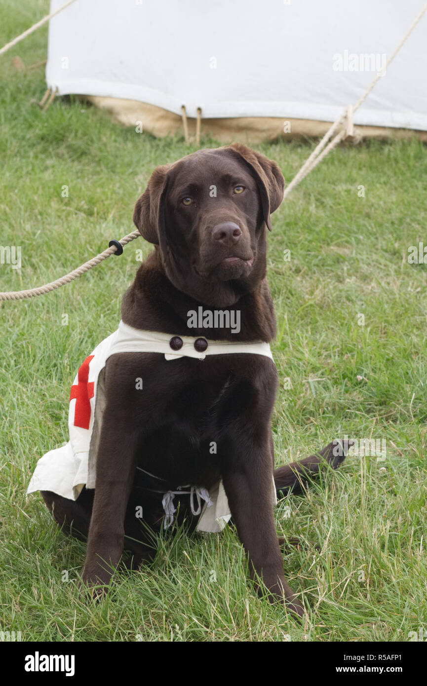 Red cross emergency Search and rescue brown Labrador - Stock Image