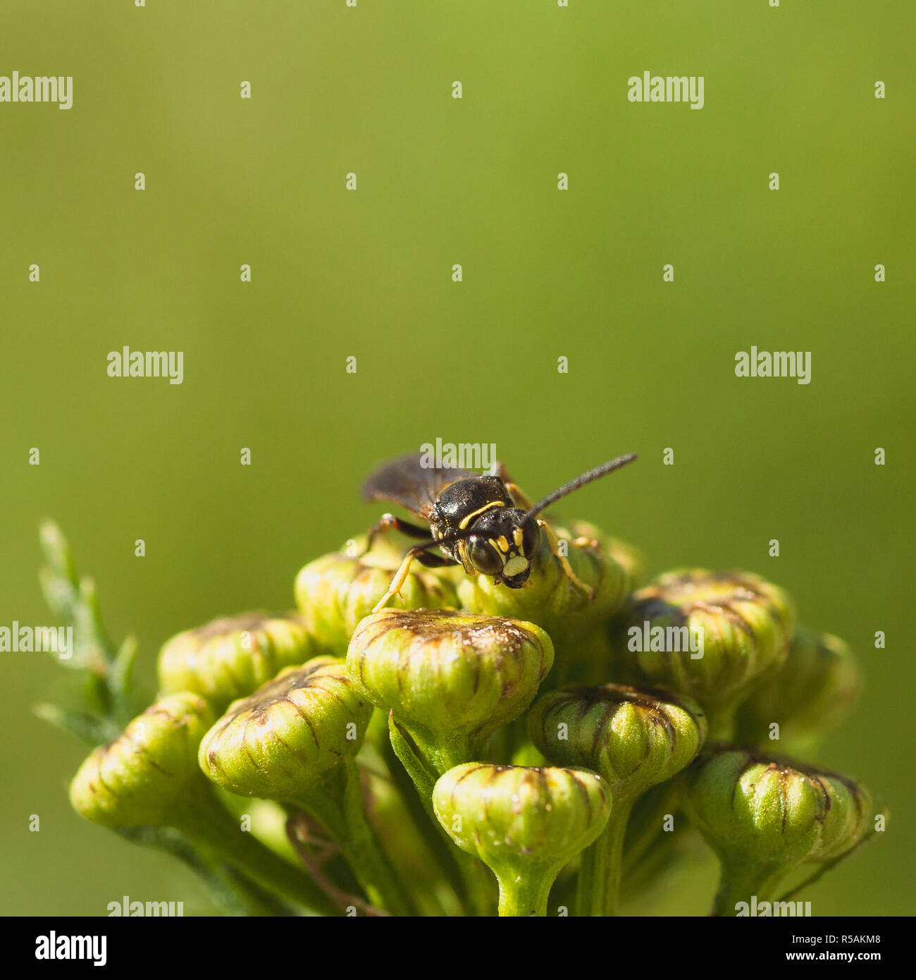 Front View of Wasp on Tansy Flower - Stock Image