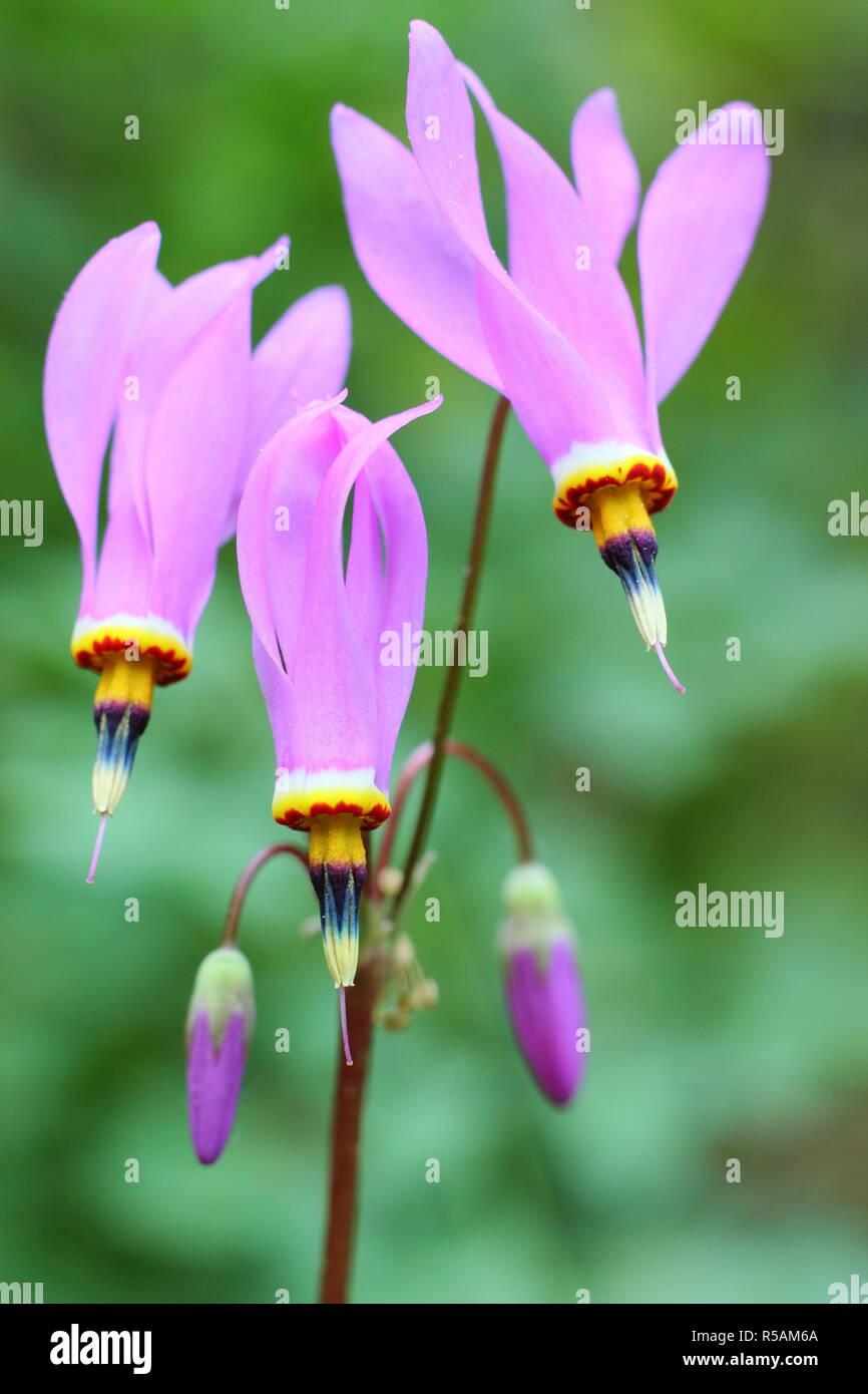 Dodecatheon pulchellum. Dark throat shooting star flowering in a UK garden in late spring - Stock Image