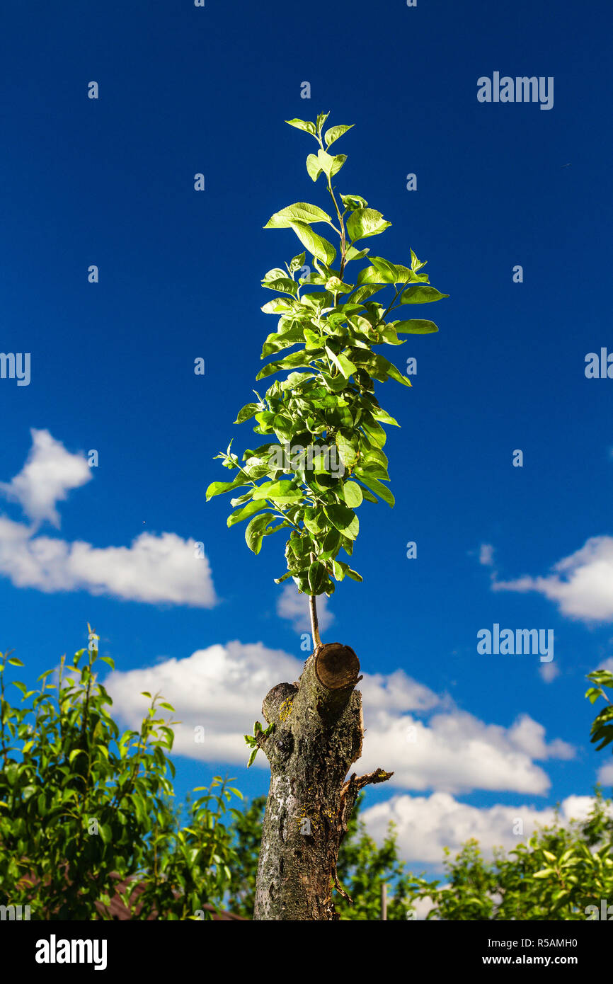 Revived apple tree - Stock Image