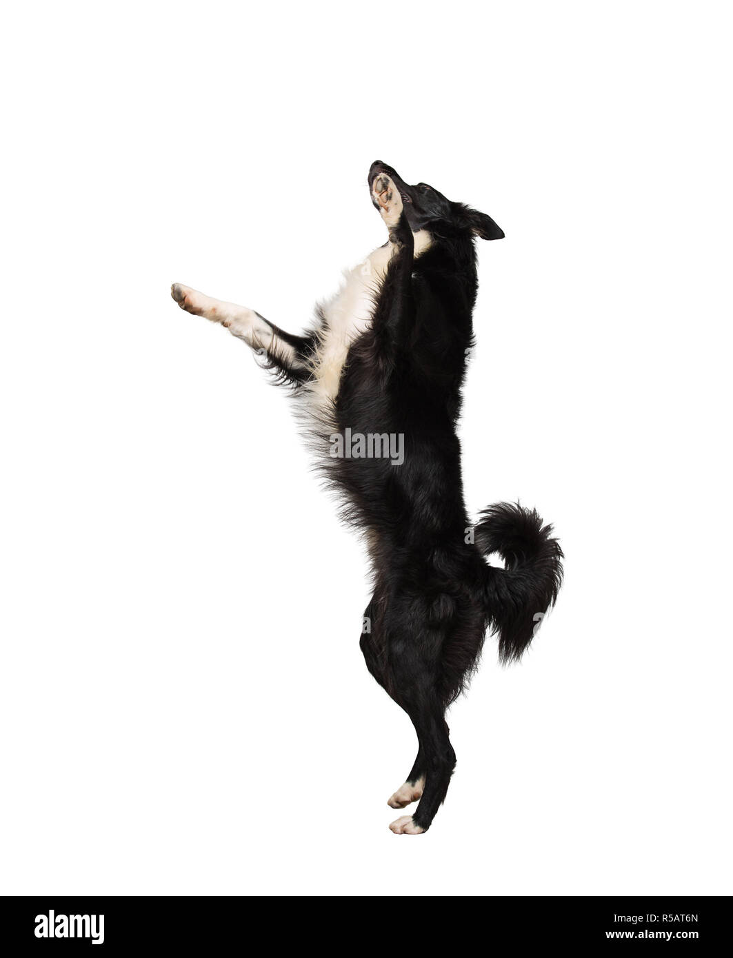 Full length motion portrait of border collie purebred dog jumping in the air on two paws playing and having fun isolated over white background. - Stock Image