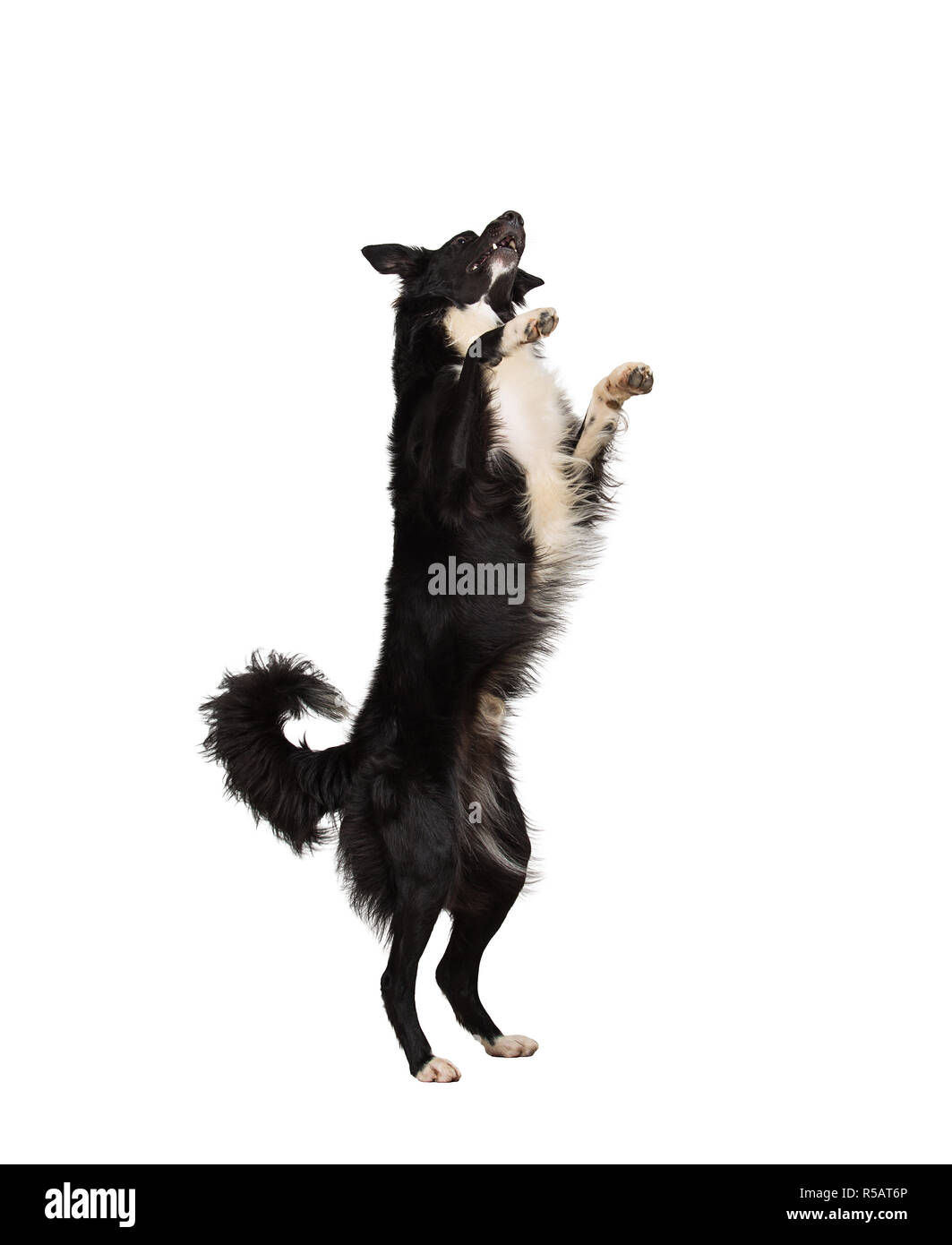Full length motion portrait of border collie purebred shepherd dog jumping in the air on two paws playing and having fun isolated over white backgroun - Stock Image