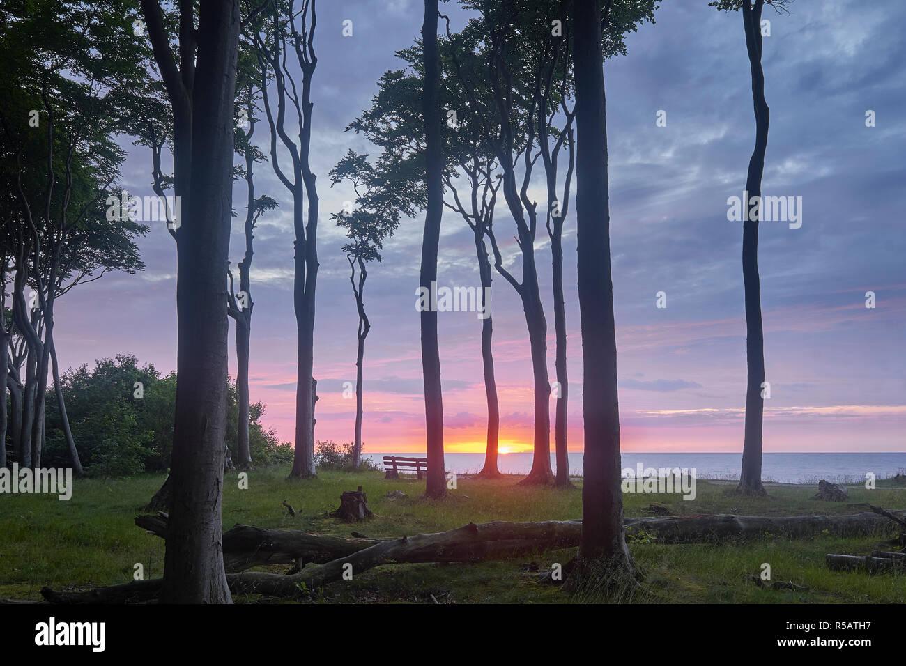 Ghost Forest Nienhagen with sunset, Ostseebad Nienhagen, Mecklenburg-Vorpommern, Germany Stock Photo