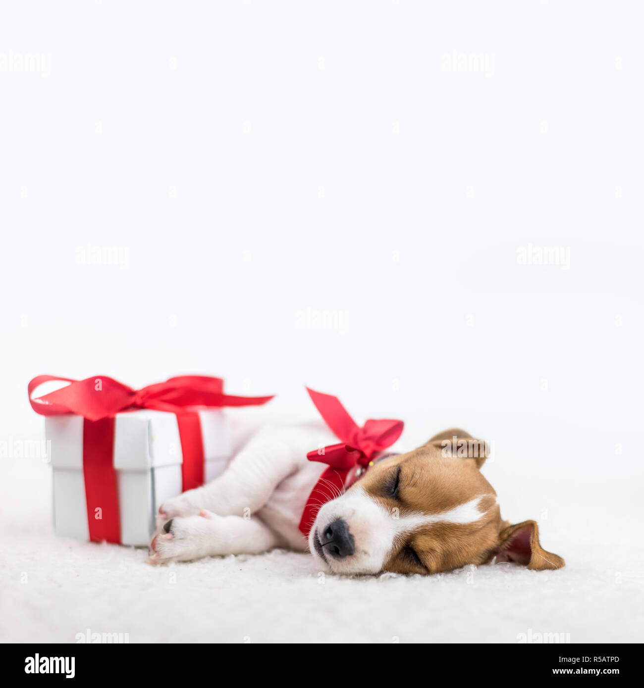 jack russel puppy with red bow and gift box laying on the white bed. Christmas concept Stock Photo
