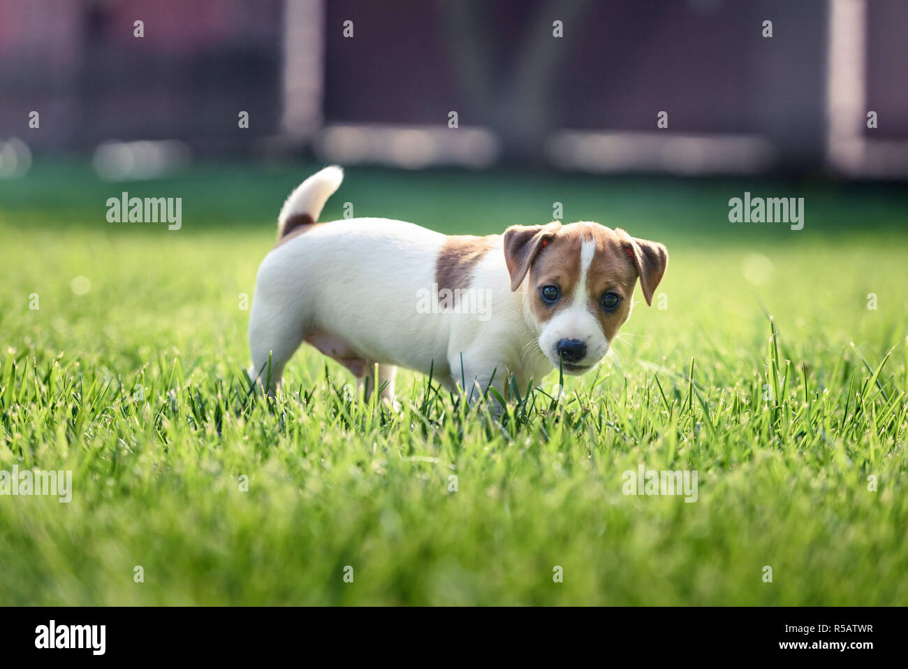 Jack russel terrier puppy on green lawn. Happy dog with serious gaze - Stock Image