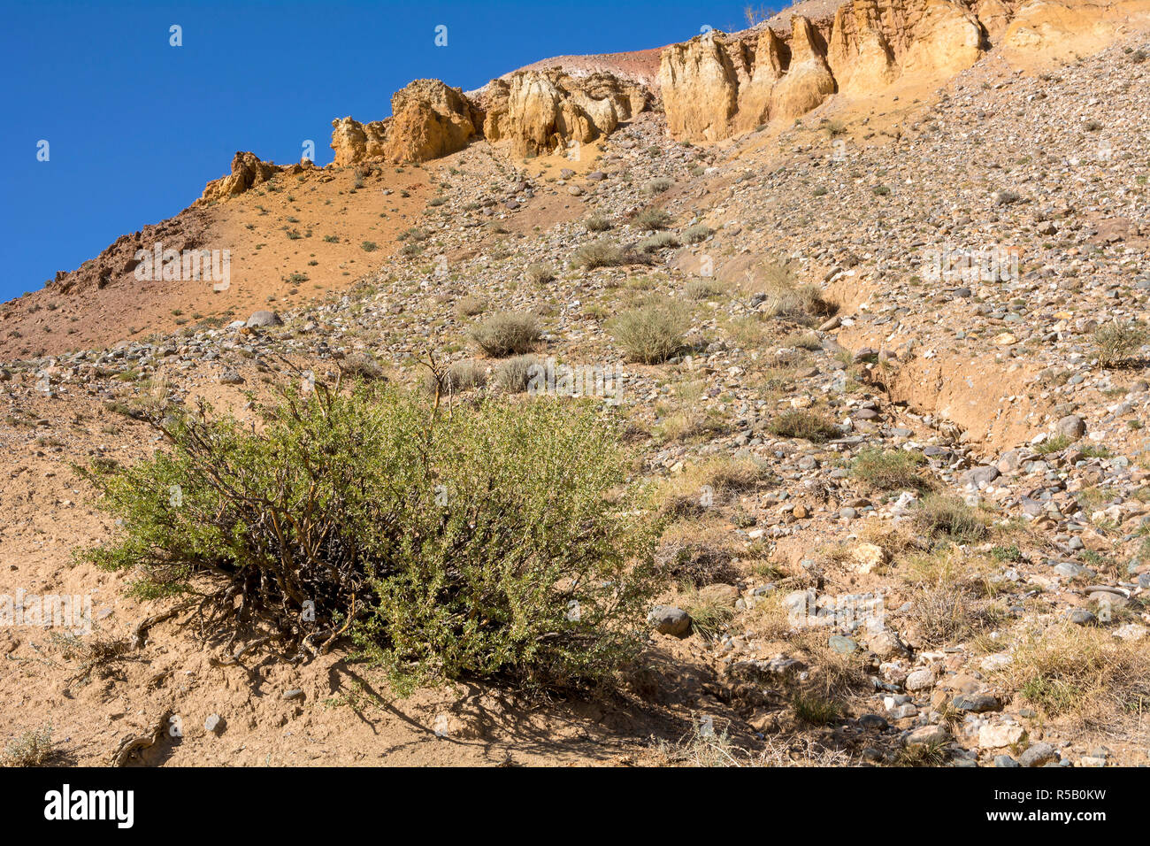 Bush Caragana pygmaea on a hillside in the valley of the Kyzyl-Chin, Chuya steppe, Altai Republic - Stock Image