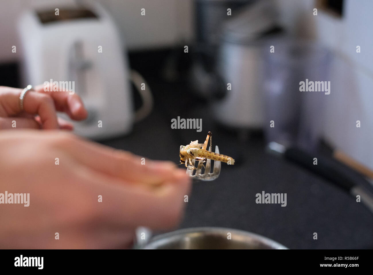 Cooking and eating edible bugs, a great source of protein and meat alternative - Stock Image