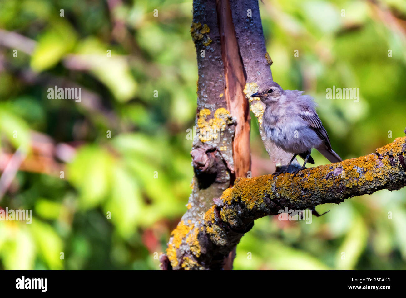 Juvenile white wagtail or Motacilla alba perches on twig - Stock Image