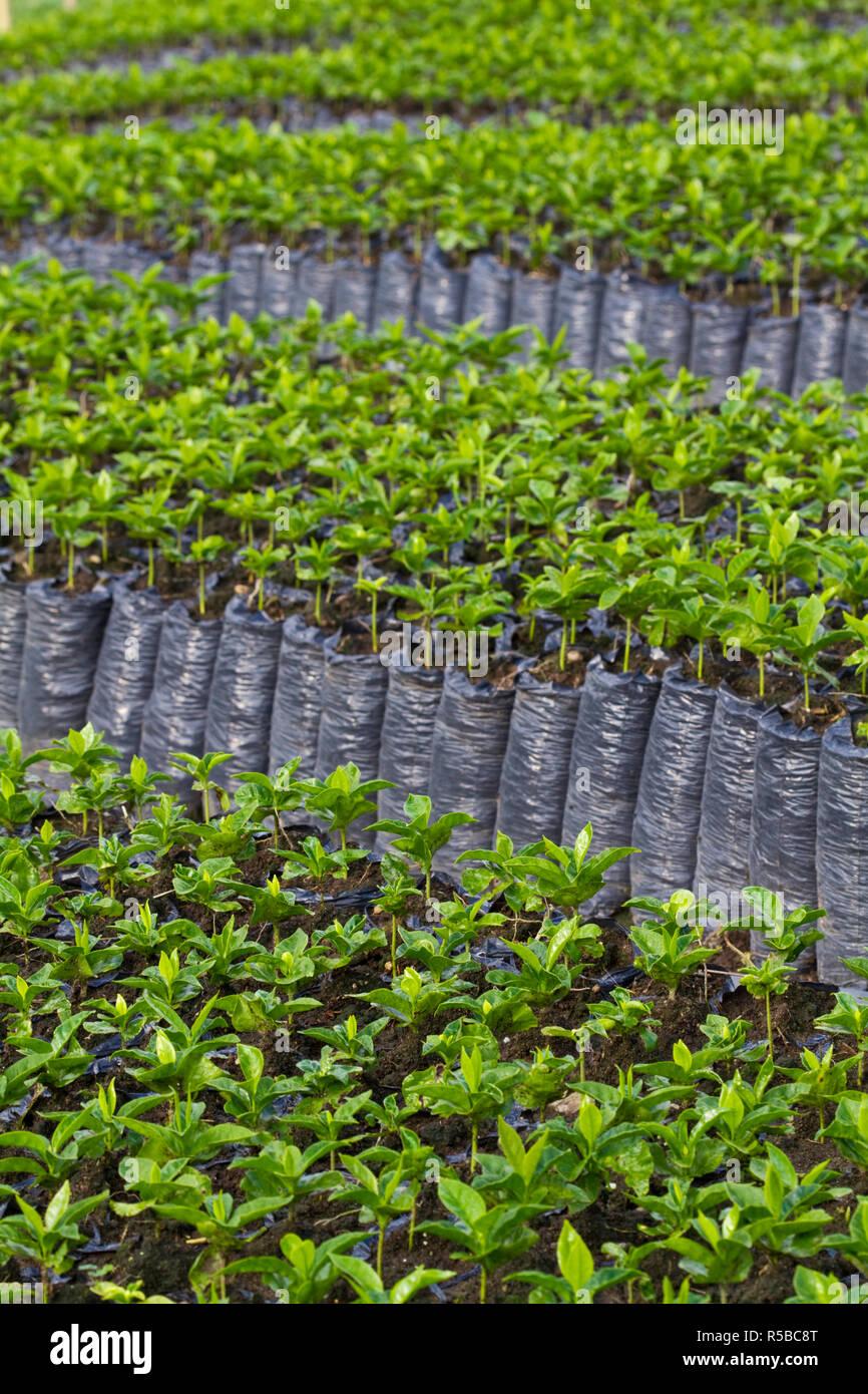 Almácigo Stock Photos & Almácigo Stock Images - Alamy