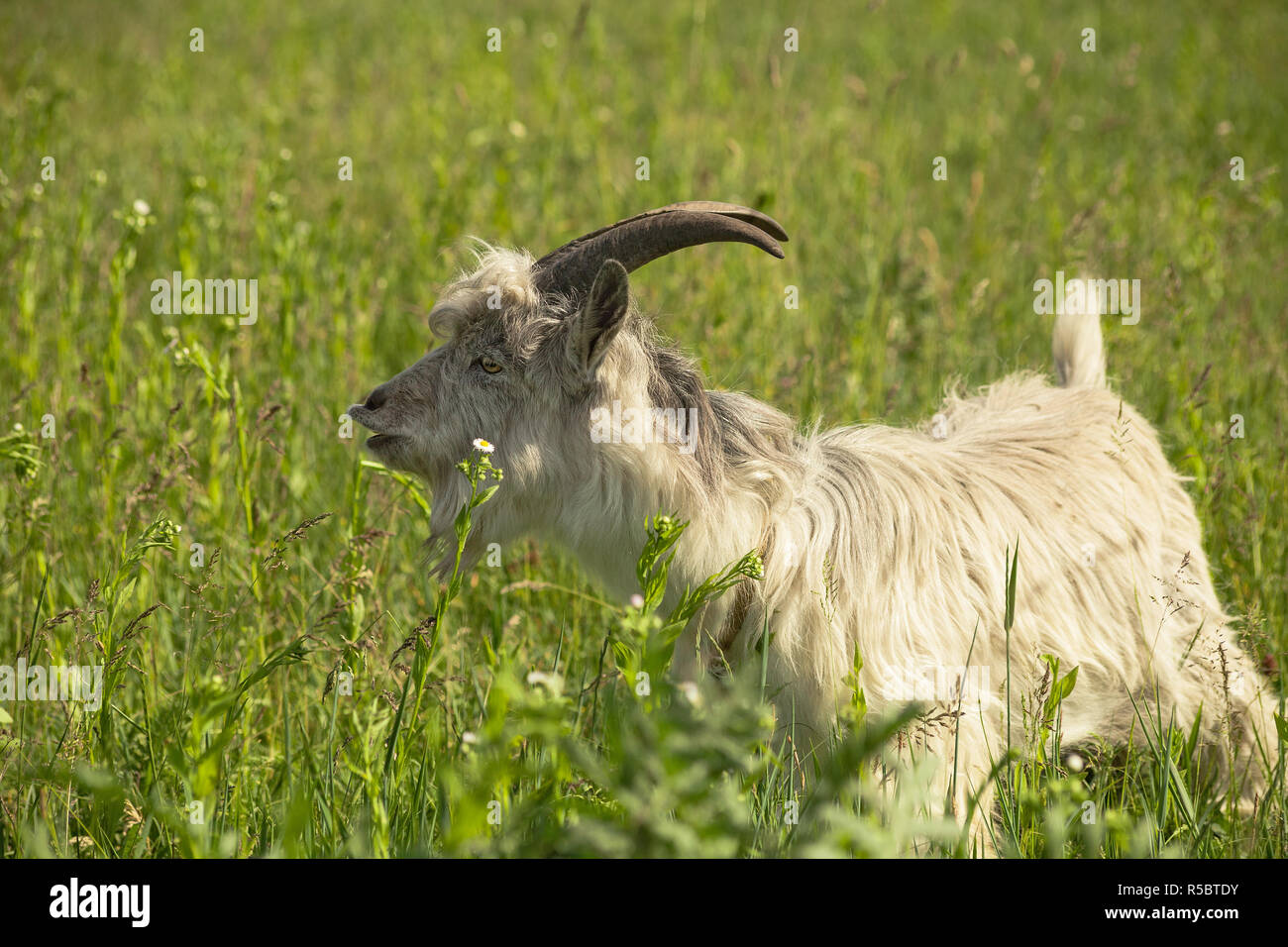 White horned goat grazing on spring sunny green meadow - Stock Image
