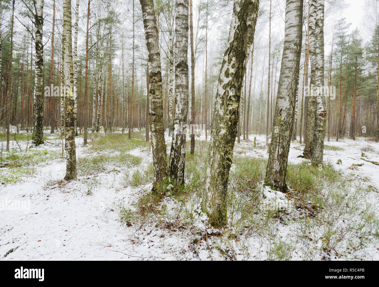 Birch grove in winter.The bark of the trees has a black and white color. Stock Photo