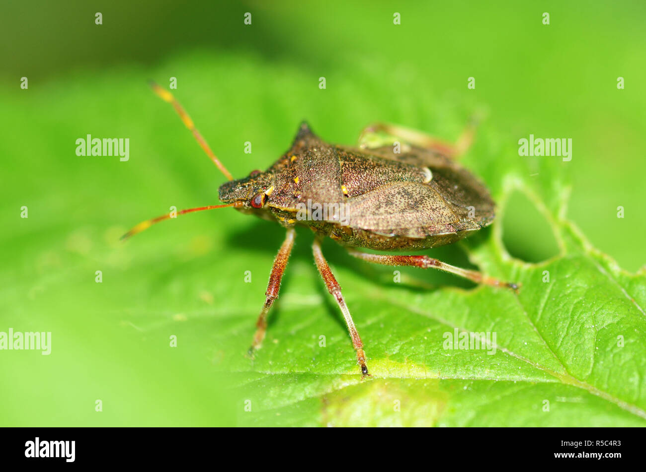 Forest Bug Sitting On A BranchHe Hunts PreyIts Bloodsucker Insect
