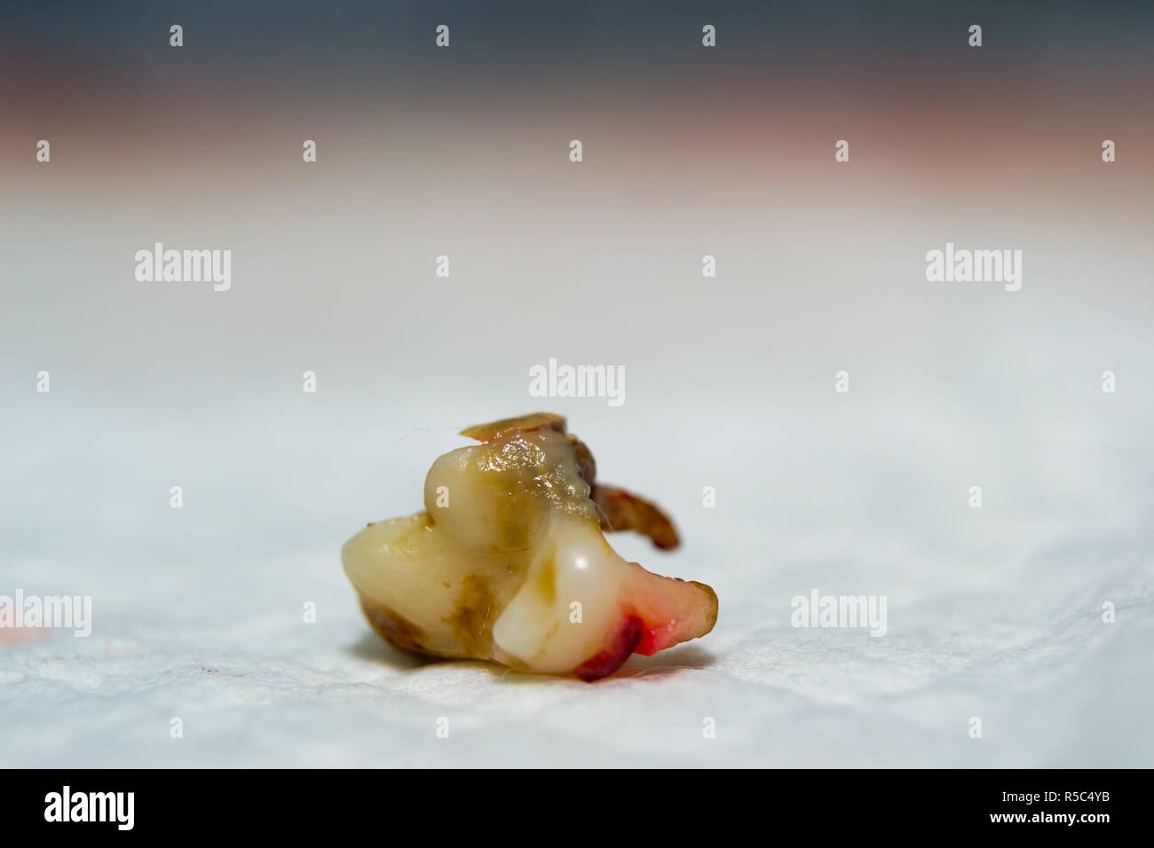 Dog Tooth Extracted Pulp Infection Tartar Stock Photo Alamy