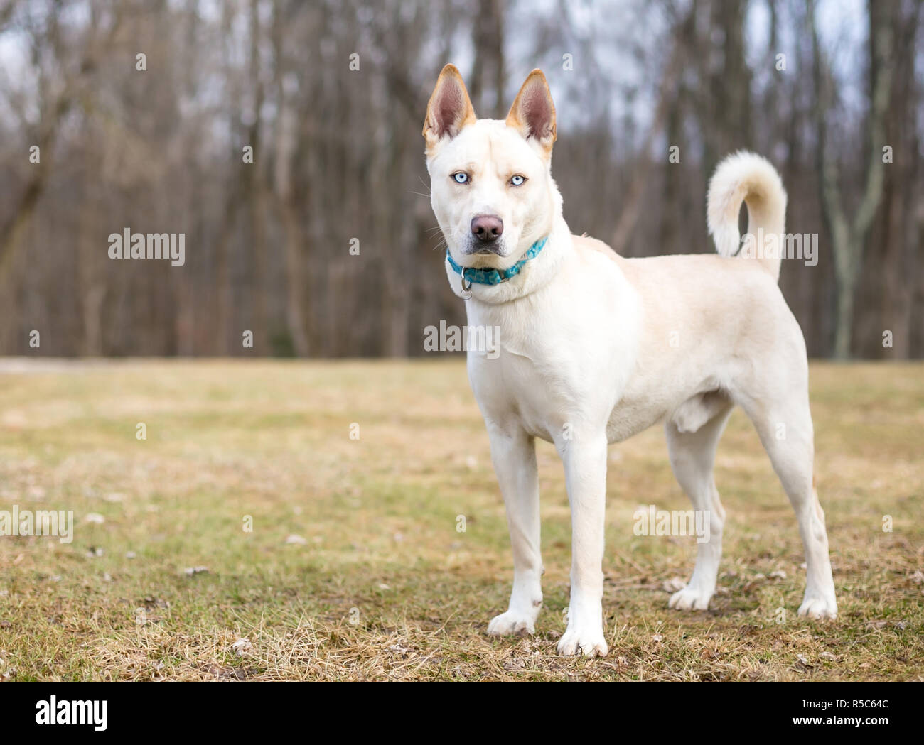 A cream colored Siberian Husky dog with blue eyes standing outdoors - Stock Image