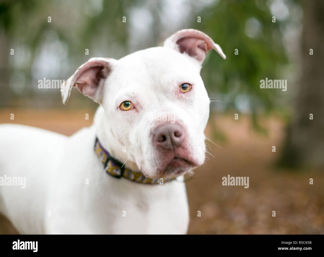 A white Pit Bull Terrier mixed breed dog outdoors looking at the camera with a head tilt - Stock Image