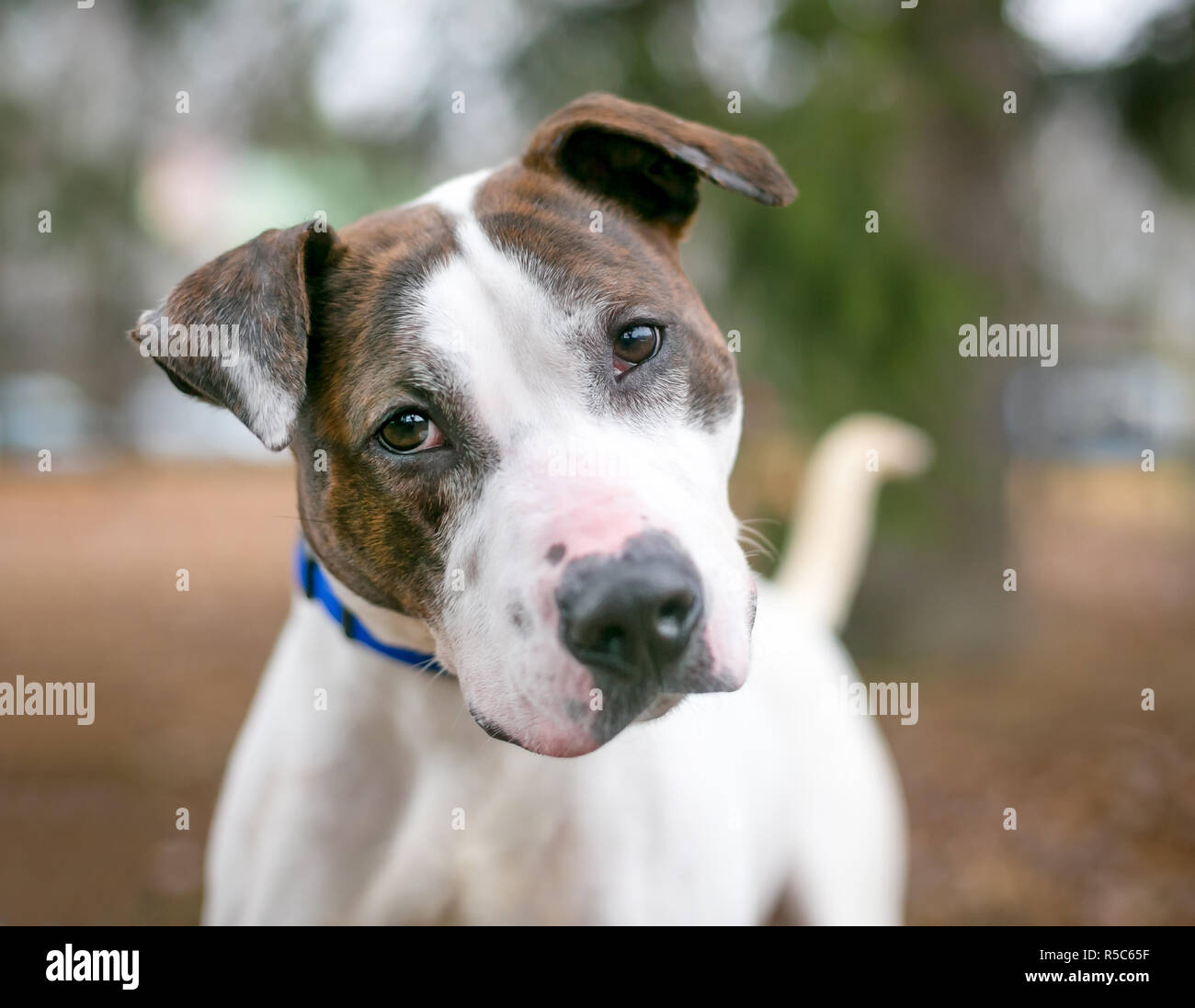 A brindle and white Pit Bull Terrier mixed breed dog listening with a head tilt - Stock Image
