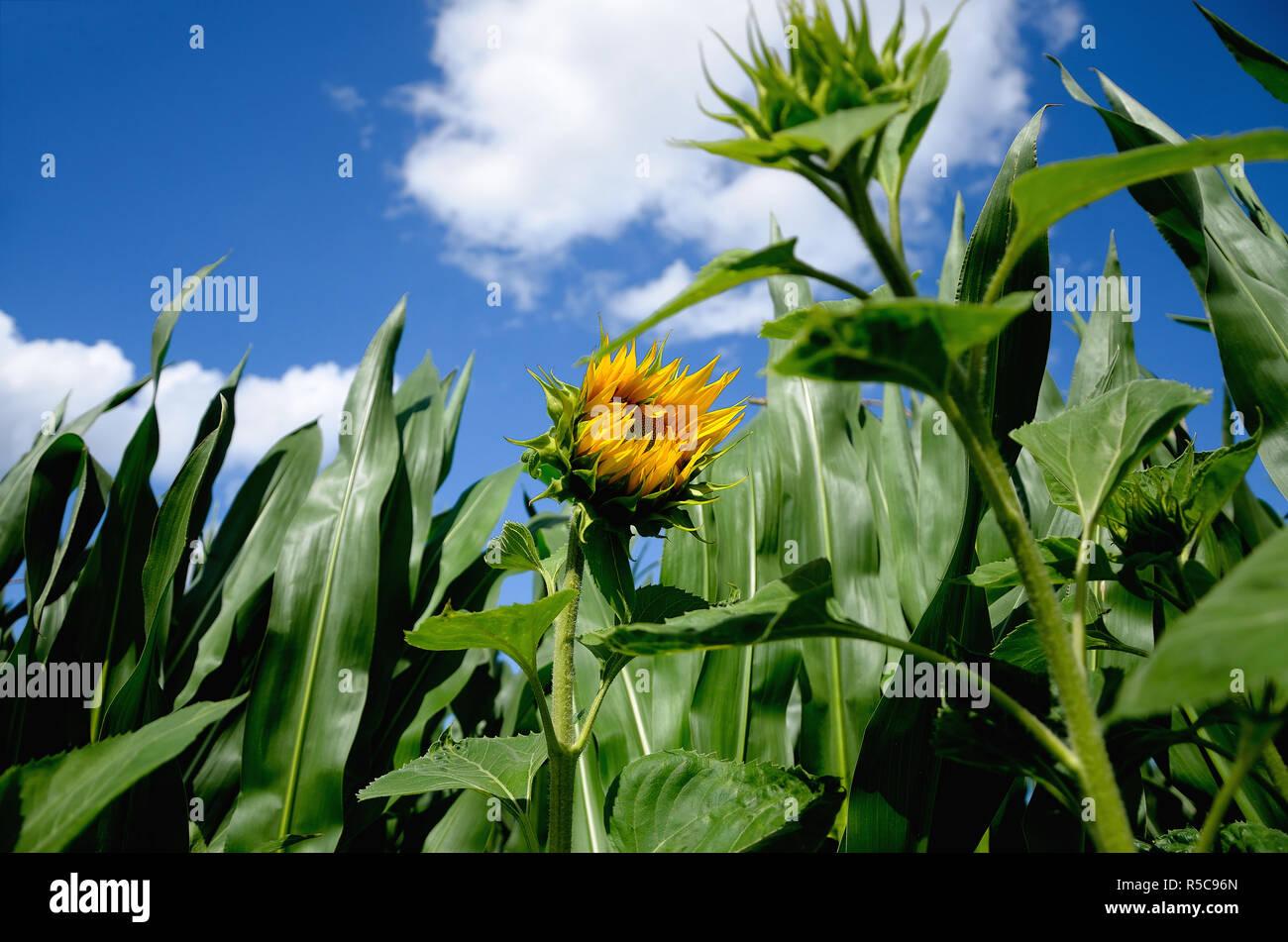 Sonnenblume unter blauem Himmel im Feld - Stock Image