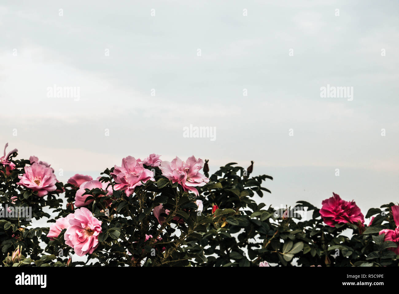 A rosehip bush with sky as a background. - Stock Image
