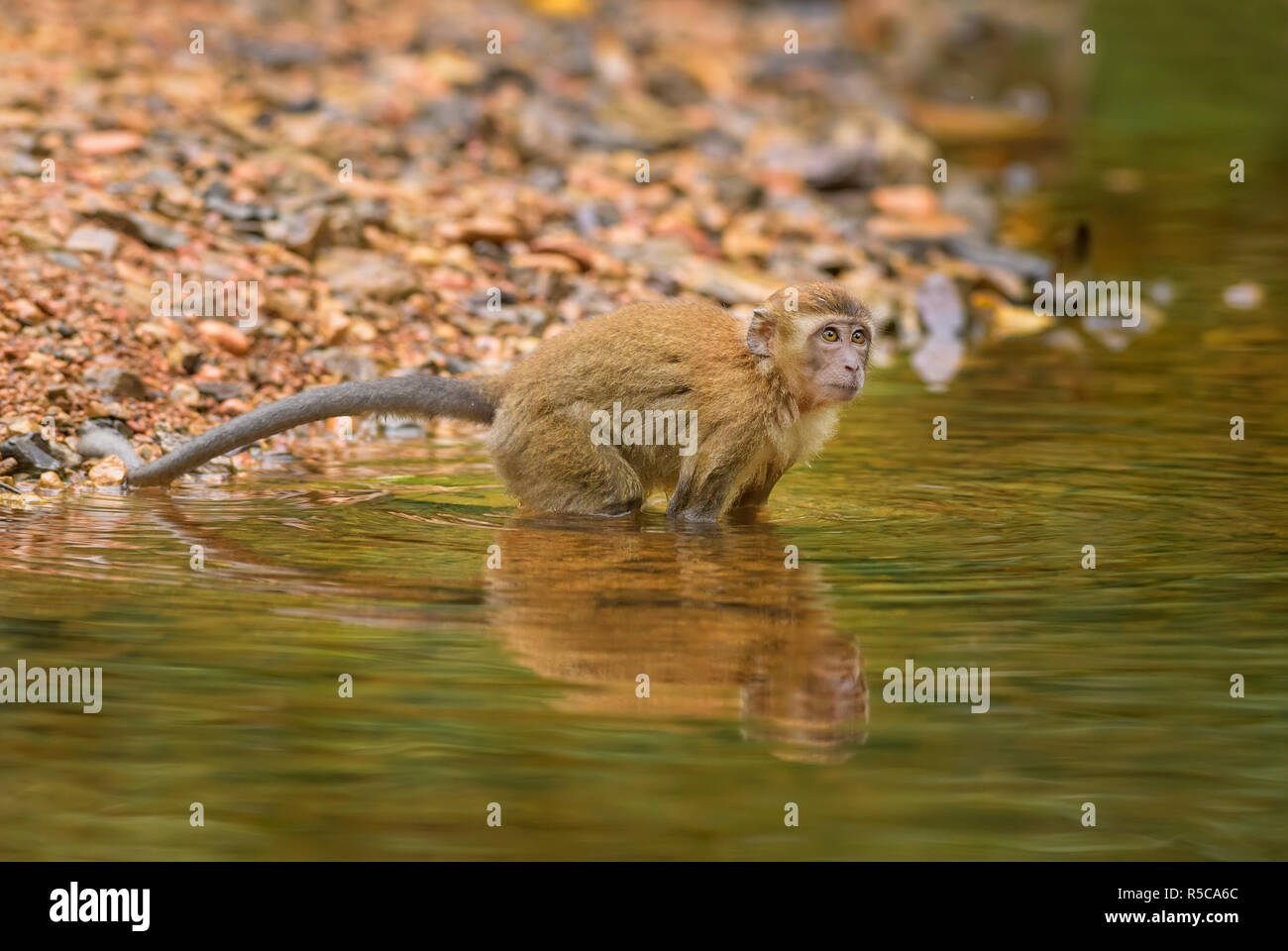 Long-tailed Macaque - Macaca fascicularis, common monkey from Southeast Asia forests, woodlands and gardens, Sumatra, Indonesia. - Stock Image
