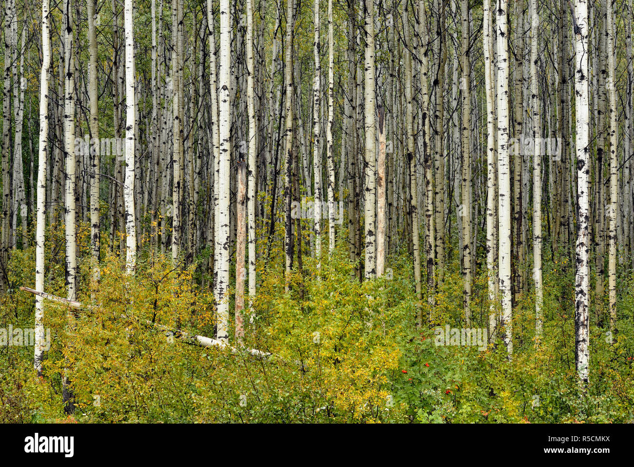 Boreal aspen woodland with early September snow, Northwest Territories, Canada - Stock Image