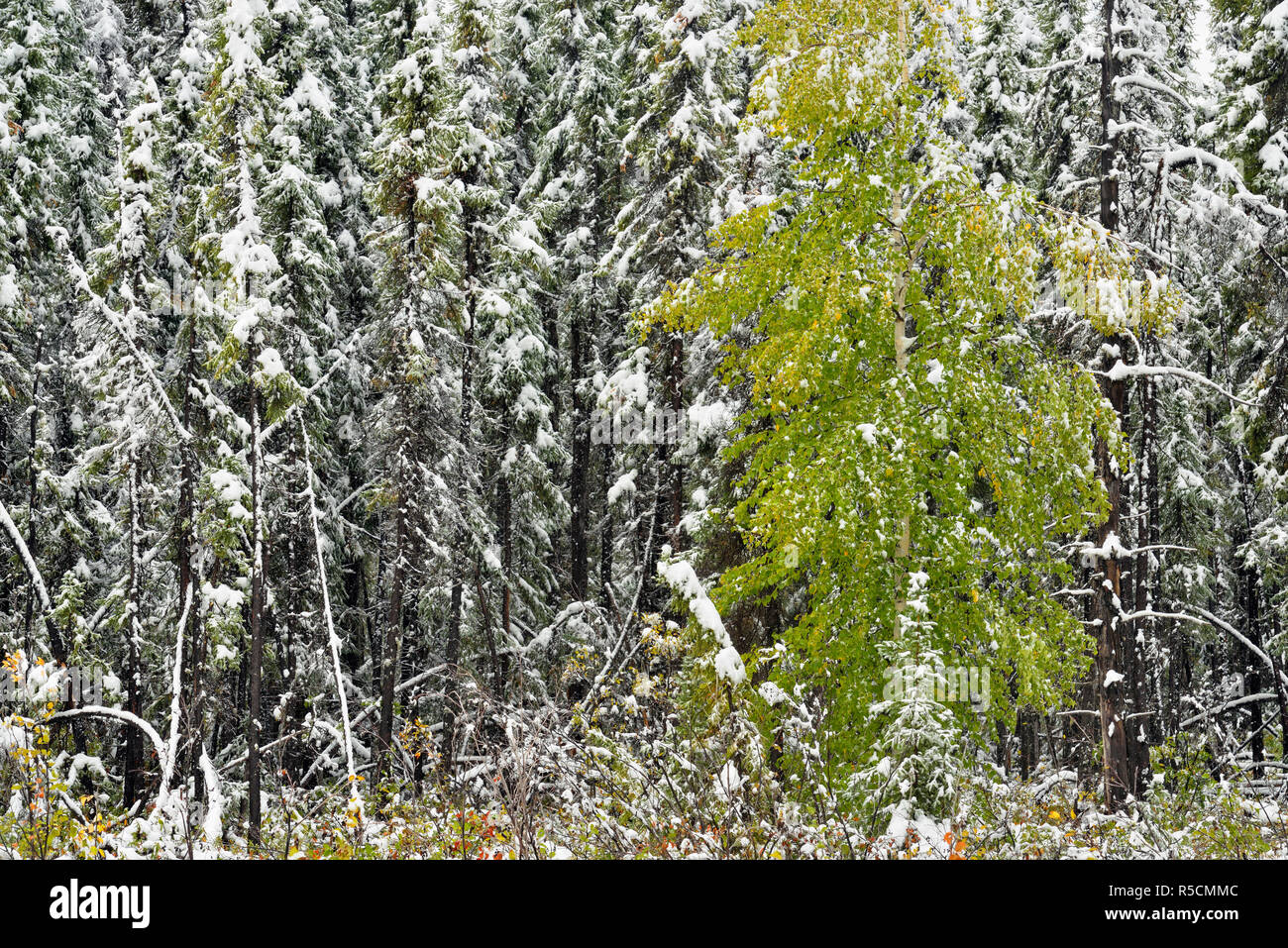 Boreal aspen woodland with early September snow, Liard Trail, Northwest Territories, Canada - Stock Image