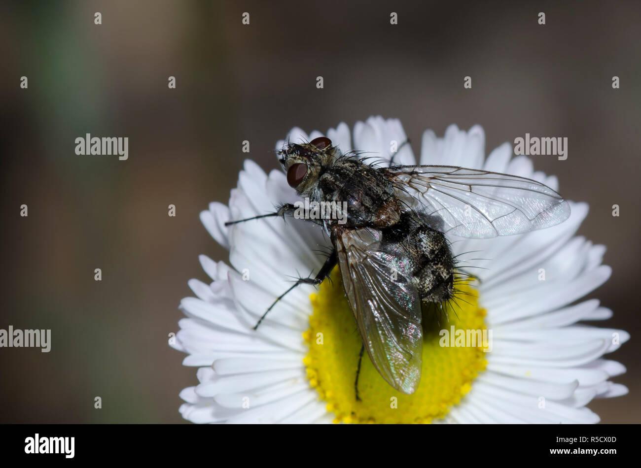 Tachinid Fly, Tribe Dexiini, on Trailing Fleabane, Erigeron flagellaris Stock Photo