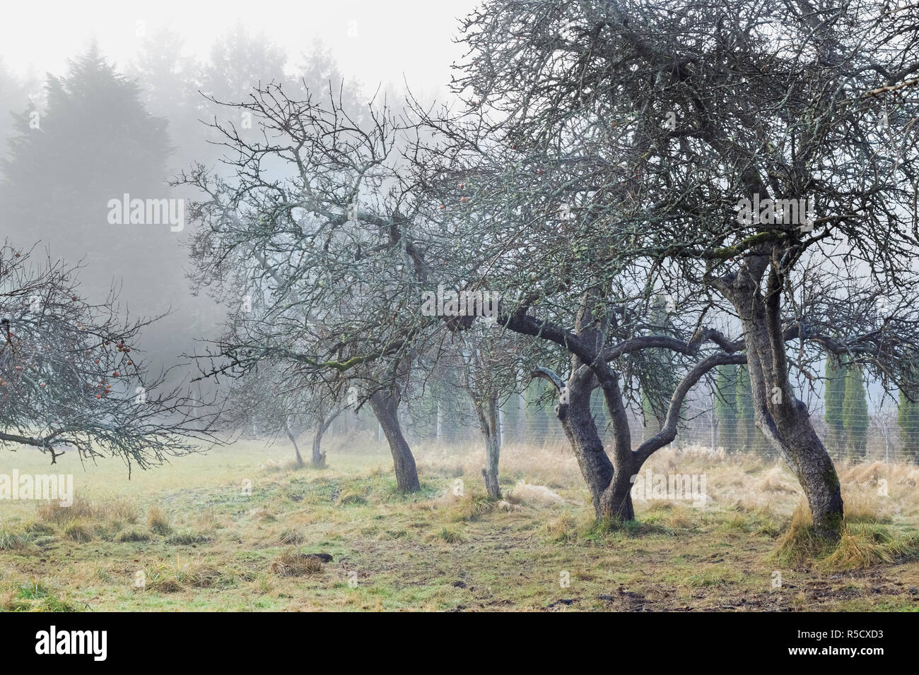 Bare, twisted old apple trees with a few red fruit still hanging stand on a foggy winter morning, with a tall forest just visible in the background. - Stock Image