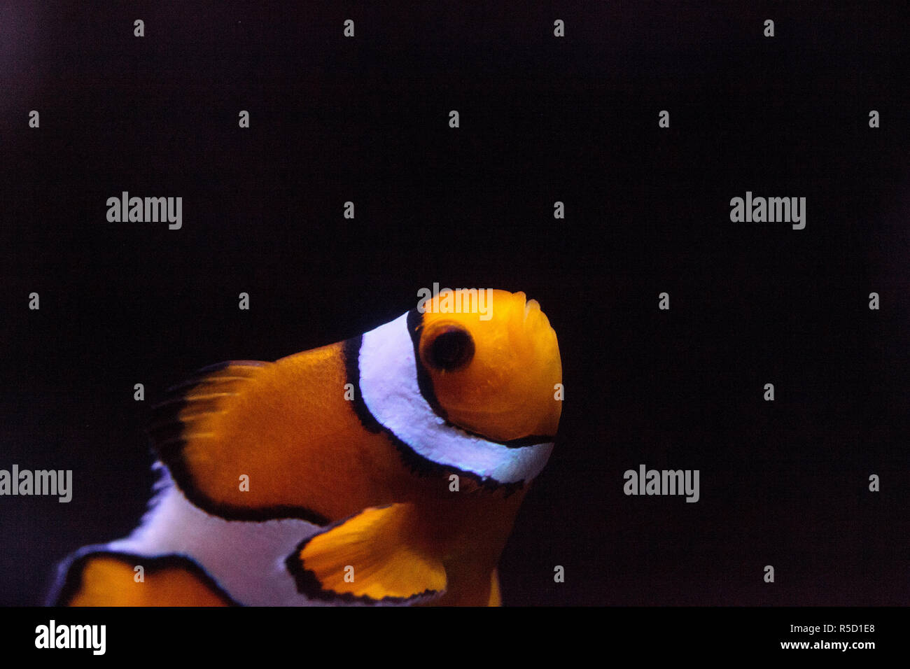 Clownfish, Amphiprioninae, in a marine fish Stock Photo